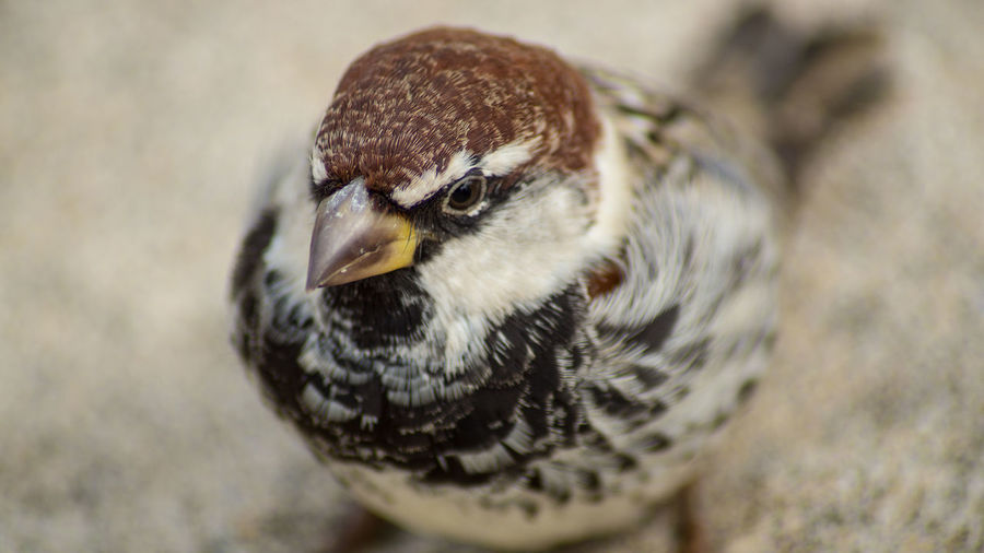 Iago Sparrow Animal Themes Animal Wildlife Animals In The Wild Atlantic Sprrow Beak Bird Bird Of Prey Close-up Day Focus On Foreground Nature No People One Animal Outdoors Passerine Portrait Rufous-backed Sparrow Sparrow