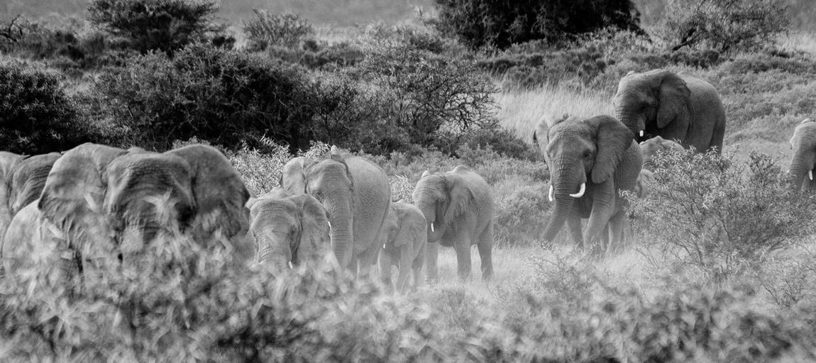 Herd Of Elephants In Forest