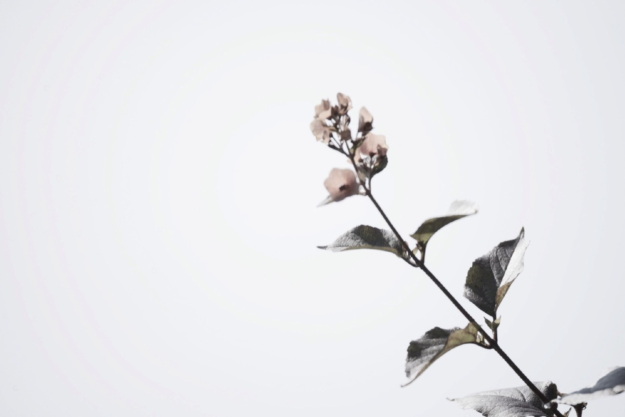 clear sky, low angle view, copy space, leaf, growth, nature, branch, plant, beauty in nature, flower, white background, stem, fragility, twig, close-up, day, no people, studio shot, tree, outdoors