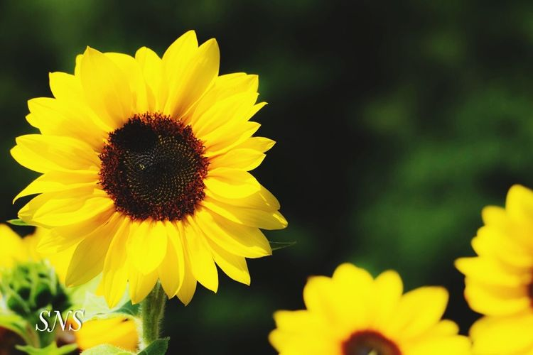 Sonnenblumen Leica Leicacamera Flowering Plant Flower Petal Yellow Vulnerability  Flower Head Inflorescence Plant Fragility Growth Freshness Beauty In Nature Close-up Focus On Foreground Pollen Nature No People Outdoors Day Sunflower
