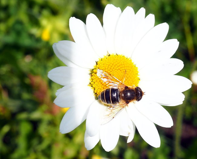 Hoverfly Hoverfly On Flower Flower Insect Animals In The Wild Animal One Animal Close-up Pollen Petal Plant Beauty In Nature