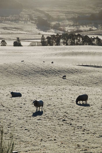 2017 December Farm Animals Perthshire, Scotland Animal Themes Beauty In Nature Day Domestic Animals Field Flock Of Sheeps Frozen Field Landscape Mammal Nature No People Outdoors Scenics