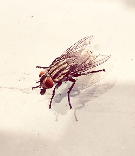 Picture of house fly outdoors on car windshield Animal Themes Reflection glass, stock, photo, picture, windshield, car, Animals In The Wild Wildlife Insect Close-up Animal Antenna Flooring Zoology Floor Beetle Crawling Arthropod Invertebrate Bug No People White Background Fragility fly horse fly non-urban