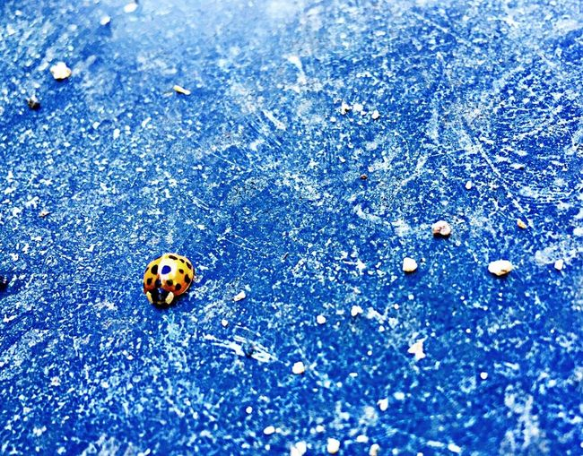 Animal Themes Animals In The Wild Beauty In Nature Blue Bug Close-up Cold Temperature Day Fragility Insect Ladybug Nature No People Outdoors Spotted Tiny