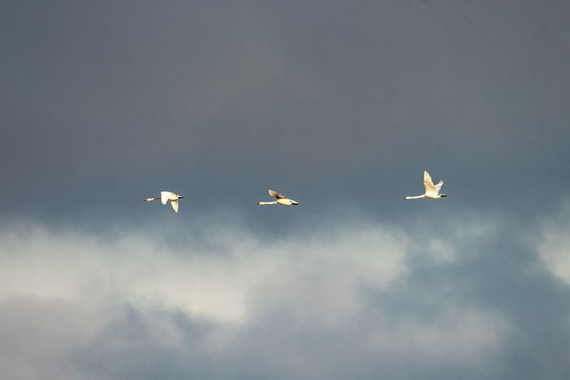 Tister Moor Swan Animal Themes Animal Wildlife Animals In The Wild Beauty In Nature Bird Cloud - Sky Day Flying Low Angle View Mid-air Nature No People Outdoors Sky Spread Wings