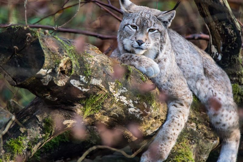 Another Photo from Lynx for Remys daughter. Animal Themes Tree Mammal One Animal Animals In The Wild Nature Outdoors Day No People Animal Wildlife Lynx Luchs