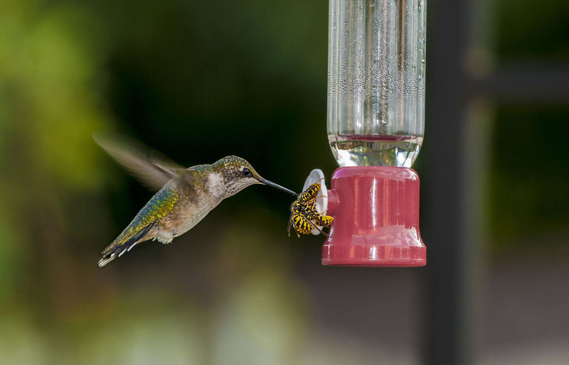 Hummingbirds Flowers Animal Themes Animal Wildlife Animals In The Wild Bird Bird Feeder Close-up Day Flying Focus On Foreground Humingbirds Hummingbird Hummingbirds Mammal Nature No People One Animal Outdoors Red Sparrow Spread Wings