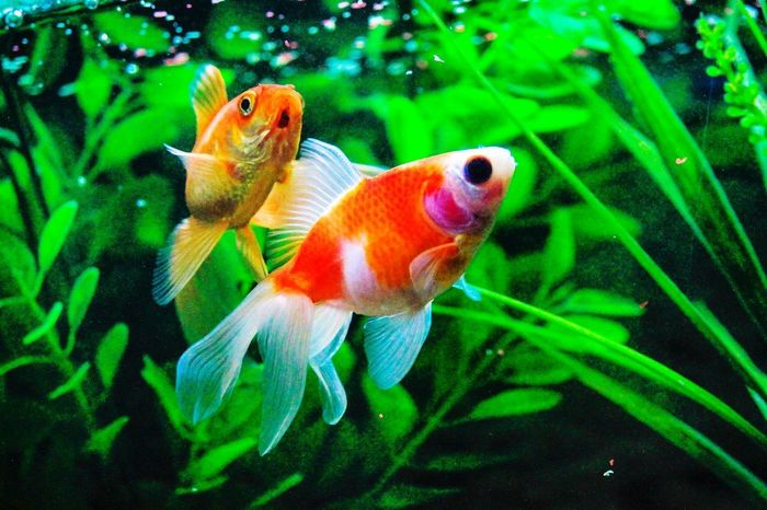 Golden fish UnderSea Swimming Water Sea Life Underwater Aquarium Goldfish Fish Close-up Green Color Fish Tank Water Plant Animals In Captivity