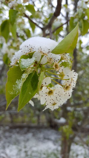 Snow and Tree Blossoms? Snow Blooming Oddbeauty Fllowers Flowers Flower Flowerporn Flower Collection Flower Porn Tree Branches Tree Blossoms Tree Blossom Tree Blooms