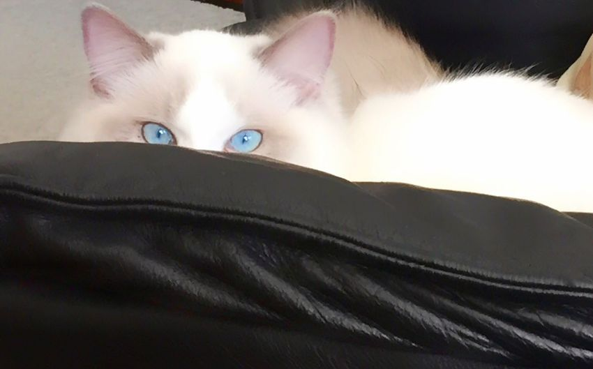 Rambunctious kitten giving me the eye(s). Cat Kitten Blue Eyes Pets Domestic Animals Mammal One Animal Looking At Camera Lying Down Animal Themes Portrait Close-up Indoors  Young Adult Rambunctious Curious Ragdoll Cat