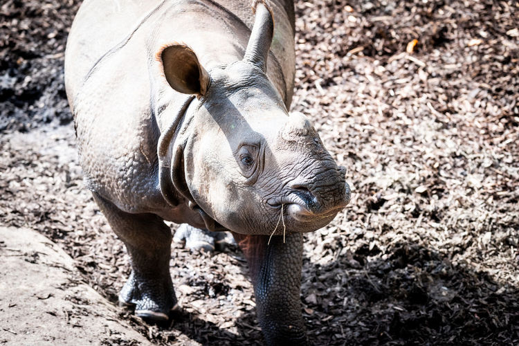 Greater One-horned Rhinoceros Indian Rhinoceros Endangered Species Rhinoceros Unicornis Animal Head  Day Great Indian Rhinoceros Greater One-horned Rhinoceros Herbivorous Mammal Nature No People One Animal Outdoors Rhino Rhinoceros Vertebrate