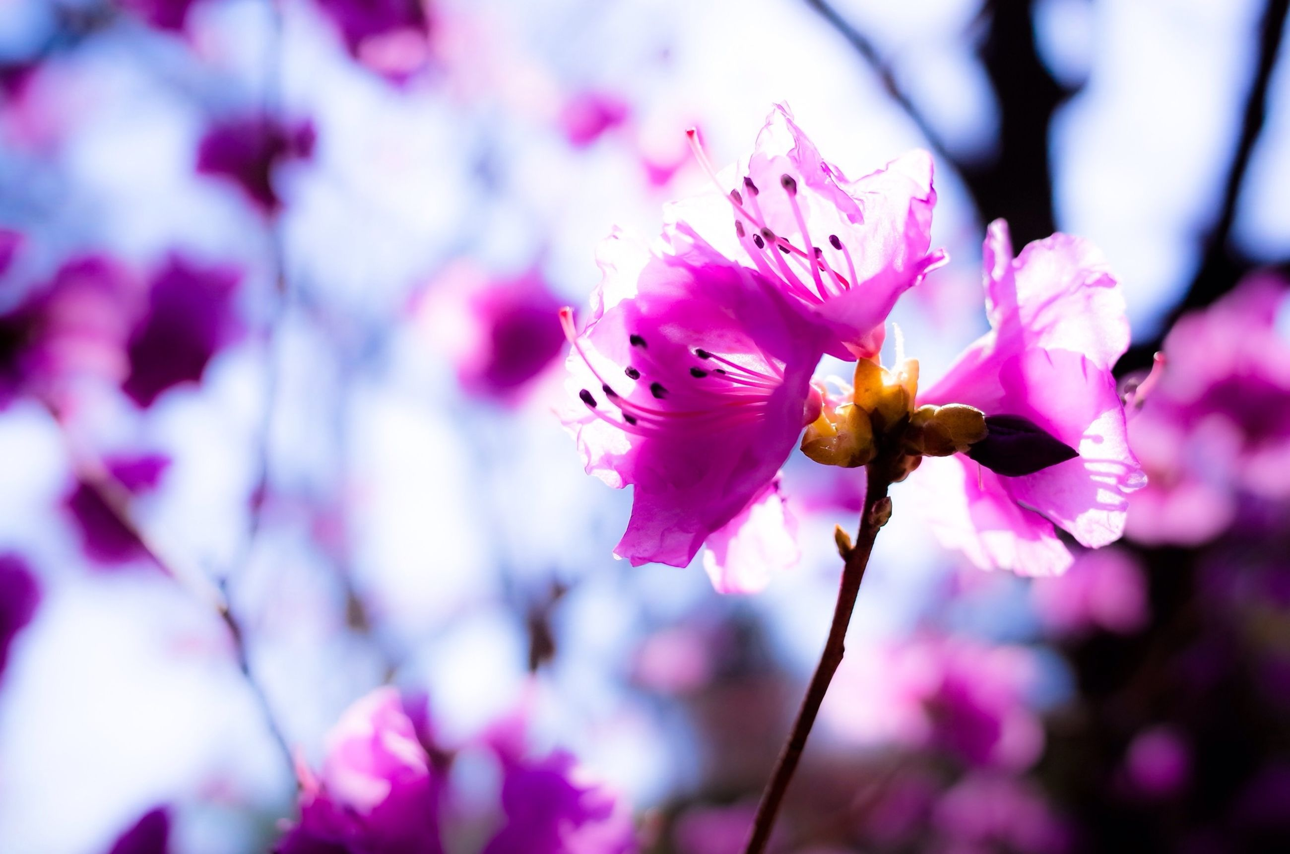 flower, freshness, fragility, growth, petal, pink color, beauty in nature, focus on foreground, branch, close-up, nature, blossom, flower head, cherry blossom, in bloom, blooming, tree, springtime, stamen, selective focus