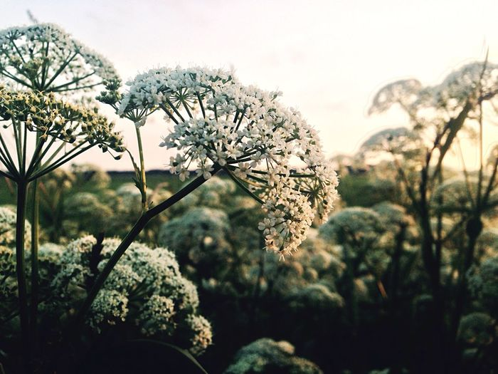 Close-up of cow parsley blooming outdoors