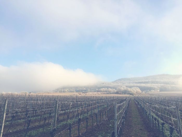 Agriculture Vineyard Cloud - Sky Winter Mist Tranquility