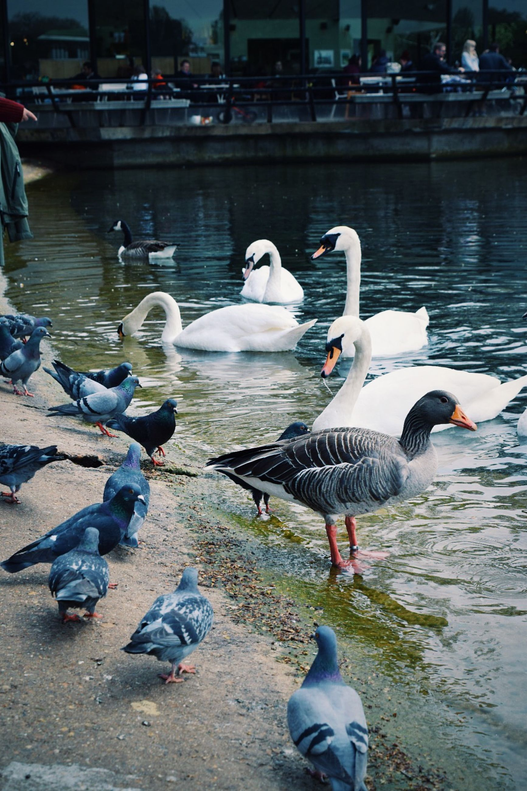 bird, animal themes, animals in the wild, water, wildlife, lake, flock of birds, duck, medium group of animals, swan, seagull, water bird, nature, reflection, togetherness, river, swimming, rippled, day