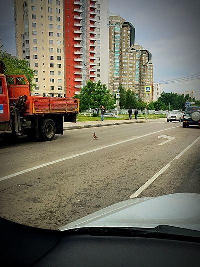 Duck Walk Moscow Russia Forgot To Fly To Warmer Climes