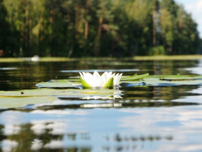 Lake Nature Finland Water Reflections Water Lily Flower July Summer