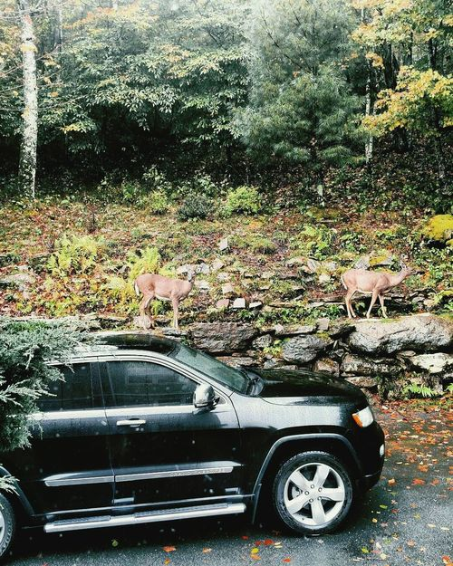 Jeep Jeep Life JEEP Grand Cherokee Naturelovers Nature_collection Wildlife & Nature Deer Deer Sighting Deer Moments Nature Lover Naturephotography Nature_perfection Wildlife Photography Beautiful Nature Jeep Cherokee Jeeplife Jeeplove Natural Beauty Nature On Your Doorstep Nature Nature Photography Deersighting Deers Deer ♥♥ Naturelover