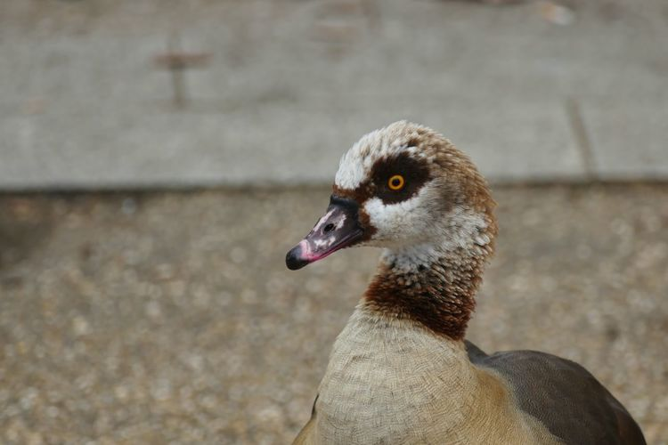 EyeEm Selects Animals In The Wild Animal Wildlife Bird Animal Themes Vertebrate Animal One Animal Focus On Foreground No People Poultry Nature Animal Body Part Outdoors Looking Away Duck Day Close-up Animal Head  Beak Zoology