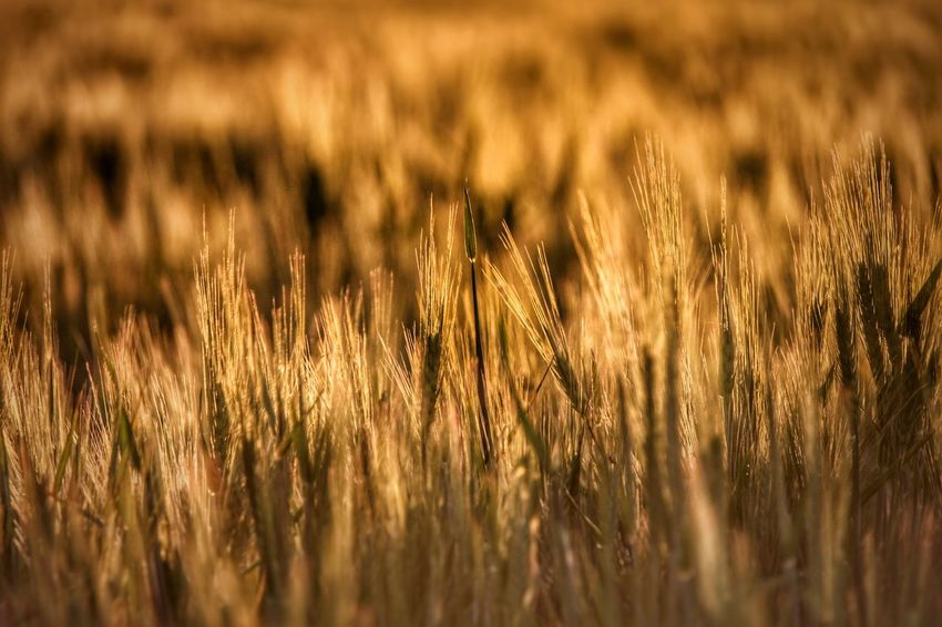 Agriculture Backgrounds Beauty In Nature Cereal Plant Close-up Crop  Day Field Focus On Foreground Full Frame Grass Growing Growth Landscape Nature No People Outdoors Plant Rural Scene Scenics Selective Focus Tranquil Scene Tranquility Wheat