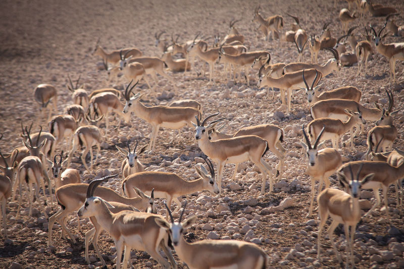 Large Group Of Deers