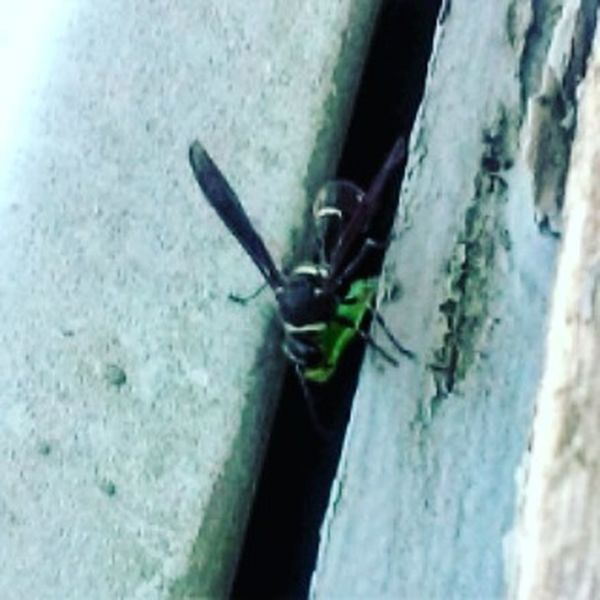this Wasp was carrying around an Inchworm