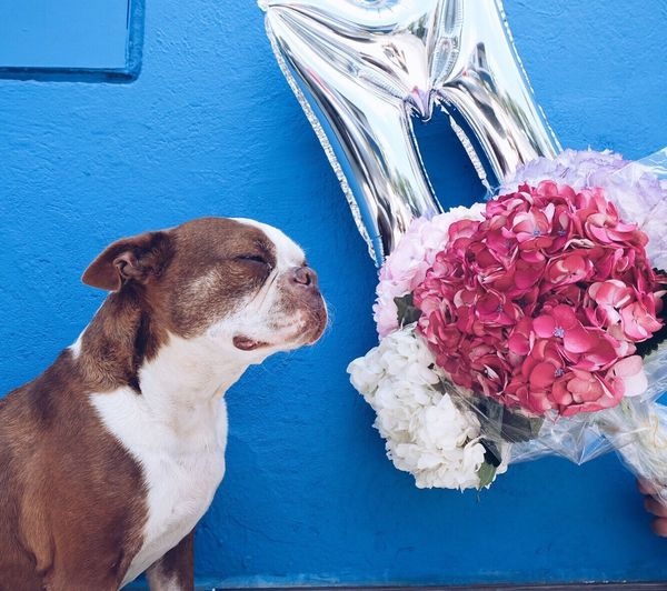 Today is my best friend's bday Mylo my boston, my companion for this wonderful 9 years. May the universe grant us many many more! Flower Animal Themes Pets Dog Close-up One Animal Domestic Animals Curiosity Beauty In Nature No People Looking Loyalty Photography Love Animal Love Animal Photography Hydrangeas