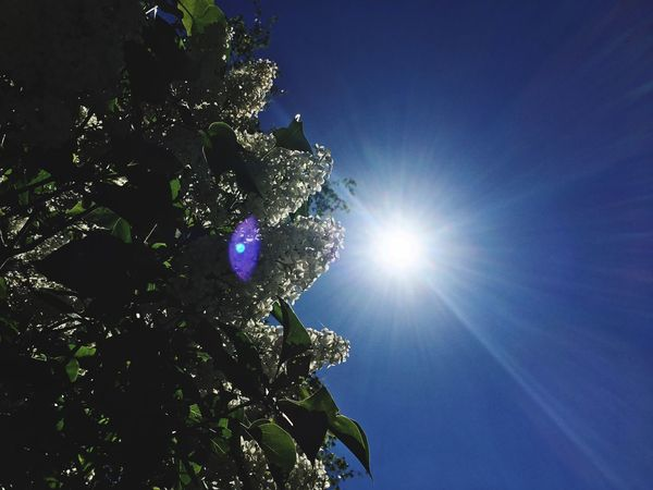 Sun Sunlight Sunbeam Low Angle View Lens Flare Tree Blue Nature Beauty In Nature Sunny Growth No People Outdoors Sky Day Leaf Clear Sky Scenics Close-up