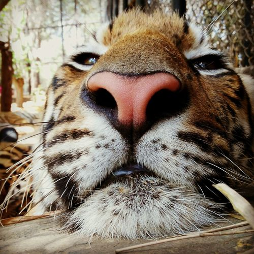 """Bigger,but still kitty-faced"". Shot on Lenovo Vibe P1 Shiv11rdac Momentfreezer VibeofShiv Pantheramigo Lenovotography Cellphonephotography LenovoVIBE Naturelover First Eyeem Photo"