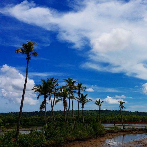 Instapic Instaman Me Scenic Coconut Sky Blue Clouds Afternoon Afterrain Goa Goan Goenkar QadirAga Borim Village Likes4follow Like Likes4likes Following Follow Followme Hopeyoulikeit Hopeyouwill
