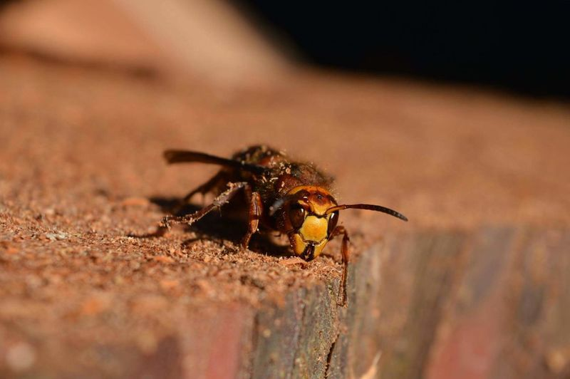 Close-up of hornet on wood