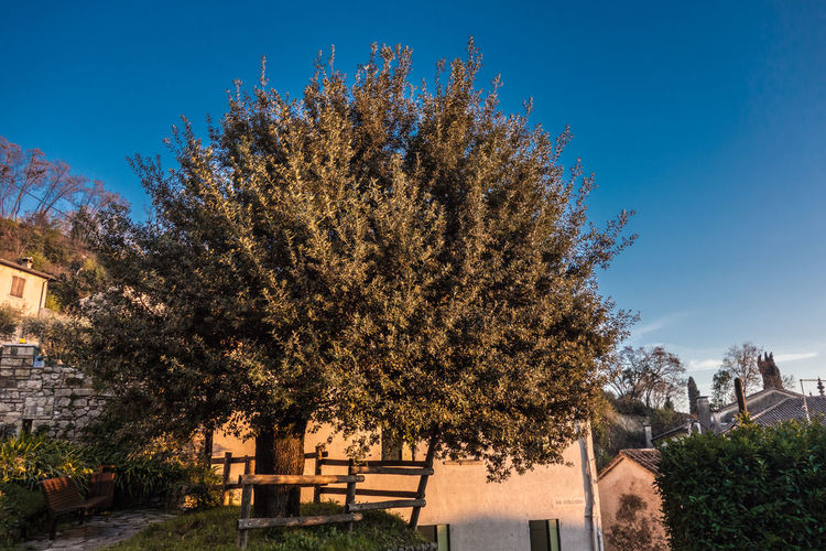 Blue Sky Day No People Old Olive Tree Blue Sky Olive Tree Landescape Outdoors Sky Tree Tree