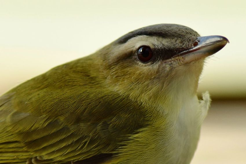 Yellow warbler Bird Yellow Warbler Animal Wildlife Wildlife Photography Nature Nature_collection