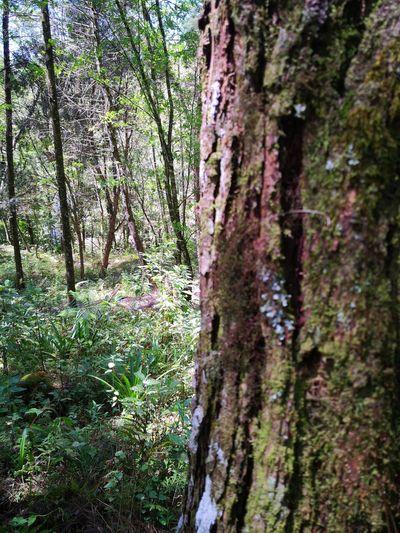 Foto Celular Tree Tree Trunk Lush - Description Forest Close-up Sky Grass Green Color Growing Flora Moss Vegetation Botanical Foliage
