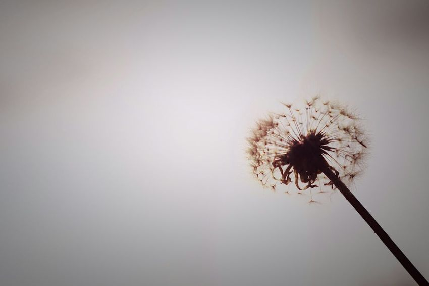 Capture The Moment Dandelion Silhouette Beauty In Nature Close-up Nature Flower Uzuki Of The Flower No People Shine Bright Tranquility My Point Of View Minimalism Tranquil Scene Still Life Fine Art Landscapes EyeEm Nature Lover Taking Photos Light And Shadow Scenics Nature Oldlens EyeEm Best Shots 16_11