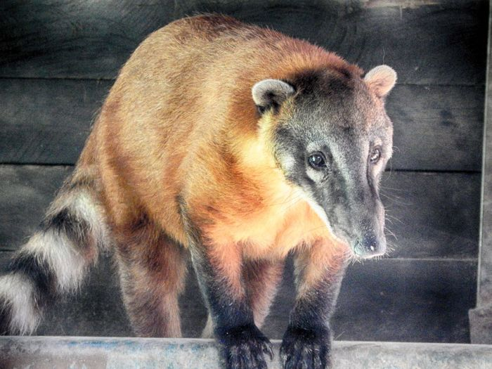 Animal Animal Themes Close-up Kuati Mammal Nature No People Portrait Zoology Coati