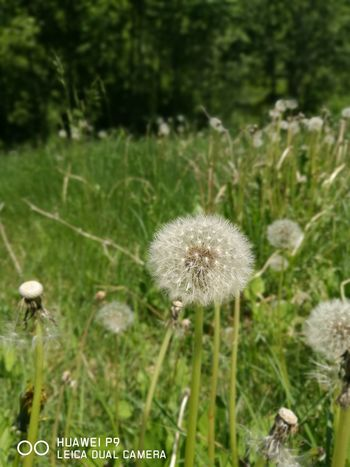 Bulgaria Cool Dandelion Dandelion Seed Flower No People Outdoors Sofia