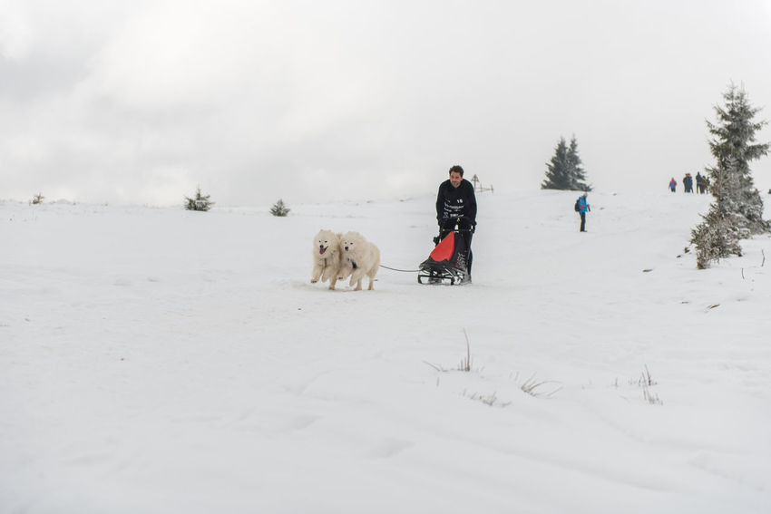 BELIS, ROMANIA - FEBRUARY 17, 2018: Musher racing at a public dog sled race show with samoyed dogs in the Transylvanian mountains Dog Sled Dog Sledding Dogs Husky Dogs Husky ♡ Running Winter Winter Sport Wintertime Animal Cold Temperature Dog Dogsled Dogsled Race Husky Huskyphotography Musher Mushers Race Samoyed Sled Dog Sledding Sleddog Snow Winter Competition