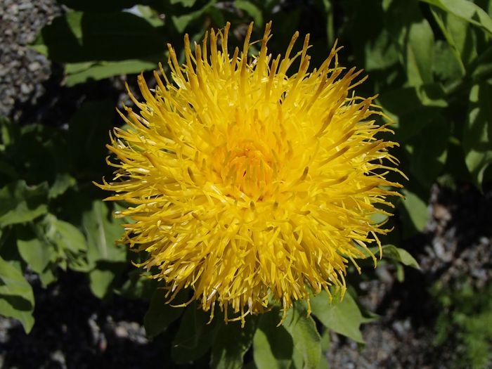 Globe Knapweed Centaurea Knapweed Yellow Plant Flower Growth Flower Head Flowering Plant Inflorescence Close-up Freshness Beauty In Nature