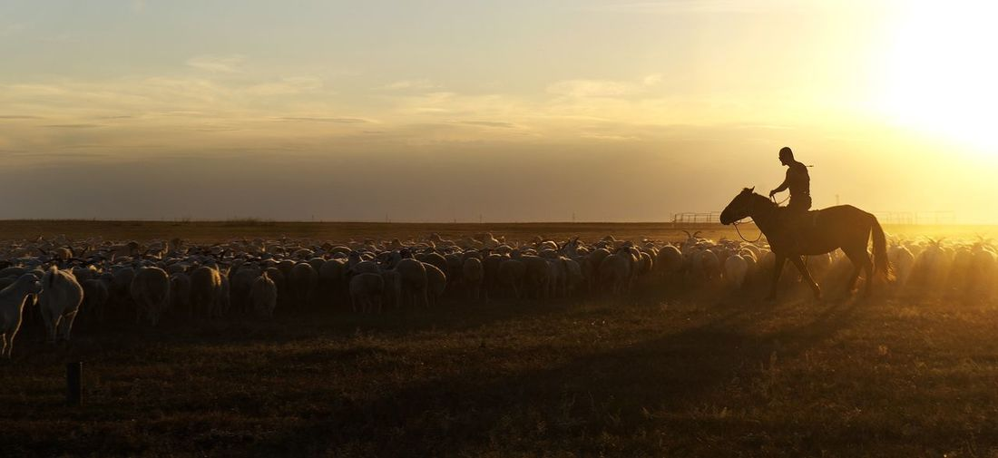 Herder riding horse with herd of goats on field against sky during sunset