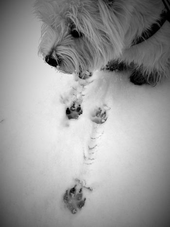<3 It's Cold Outside Snow❄ Westie West Highland White Terrier