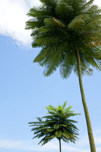 tropical palm tree with blue sunny sky background Sky Tree Plant Palm Tree Growth Low Angle View Tropical Climate Beauty In Nature No People Green Color Tranquility Day Nature Tall - High Trunk Tree Trunk Outdoors Scenics - Nature Clear Sky Tranquil Scene Tropical Tree Palm Leaf Holiday