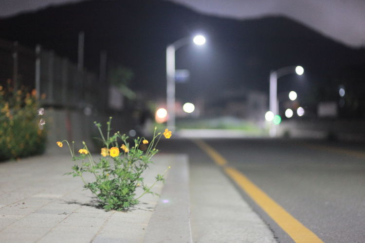 View of yellow flowering plant on road at night