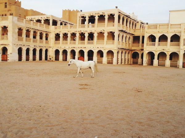 Arabi Horse White Beauty Outdoors Tourism Animal Themes