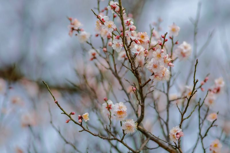 Plum Blossom Flowers Flower Collection Flowerporn Nature EyeEm Nature Lover Nature_collection Nature Photography Taking Photos EyeEm Best Shots EyeEm Gallery From My Point Of View The Week on EyeEm Flowering Plant Flower Plant Beauty In Nature Fragility Freshness Vulnerability  Blossom White Color Nature Branch