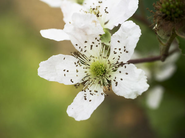 Beauty In Nature Blackberry Flowers Blossom Close-up Flower Flower Head Fragility Freshness Growth Nature Outdoors Plant White Color