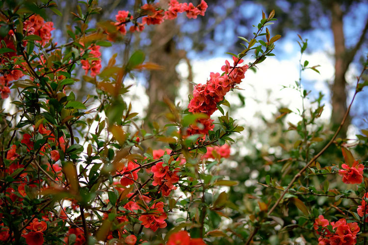 Glorious spring - Beauty In Nature Blooming Blossom Bush Close-up Day Flower Freshness Growth Japanese Quince Leaf Nature No People Outdoors Plant Red Spring Summer Tree