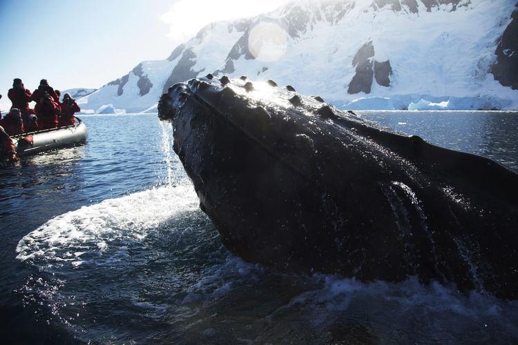 Animal Wildlife Antarctica Aquatic Mammal Humpback Whale Humpback Whale Mammal Whale Breaching Whale Watching