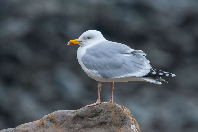 Common Gull Animal Themes Animal Wildlife Animals In The Wild Bird Close-up Day Focus On Foreground Nature No People One Animal Outdoors Perching Seagull