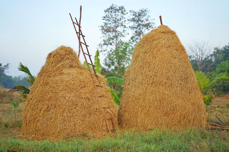 Straw rice in